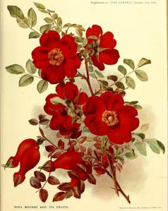 Rosa Moyesii, ( The Garden 1916)