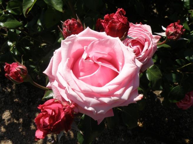 Rosa 'Royal Dot'
